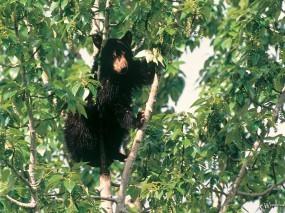 Обои Медведь на дереве: , Медведи