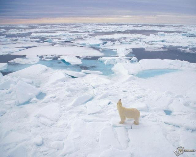 Полярный медведь (Svalbard Norway)
