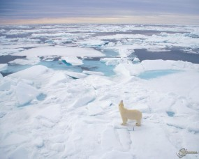 Обои Полярный медведь (Svalbard Norway): , Медведи