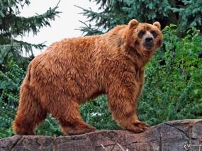 Обои Гризли: , Медведи