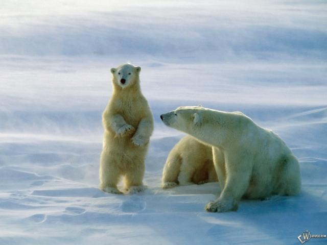 Белая медведица с малышом