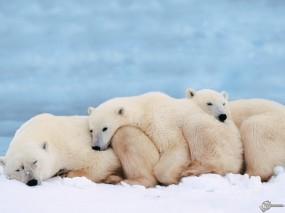 Обои Три белых медведя: , Медведи