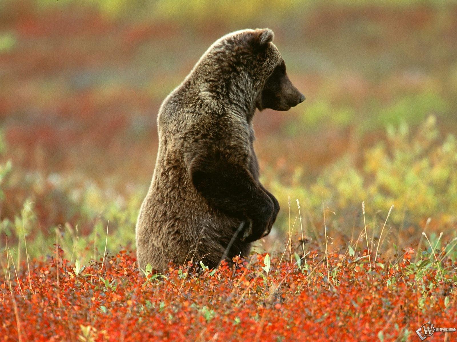 Медведь на лугу 1600x1200