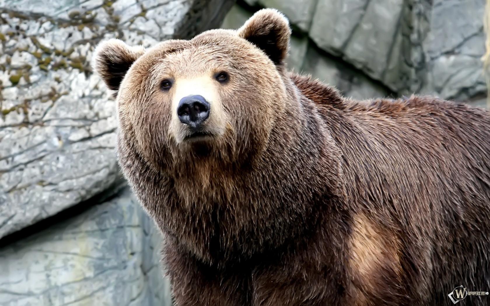 Серьезный медведь 1680x1050