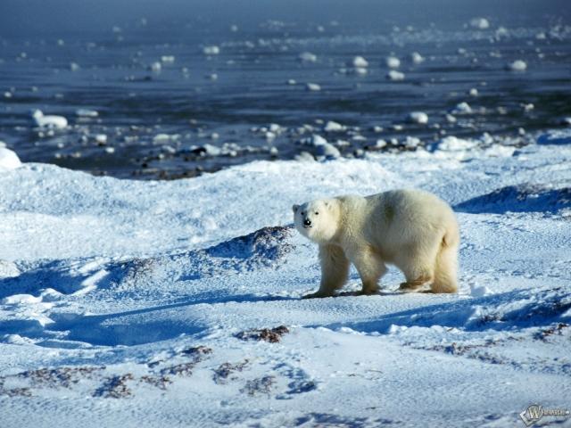 Белый медведь у моря