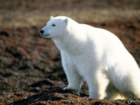 Обои Белый медведь наблюдает: , Медведи