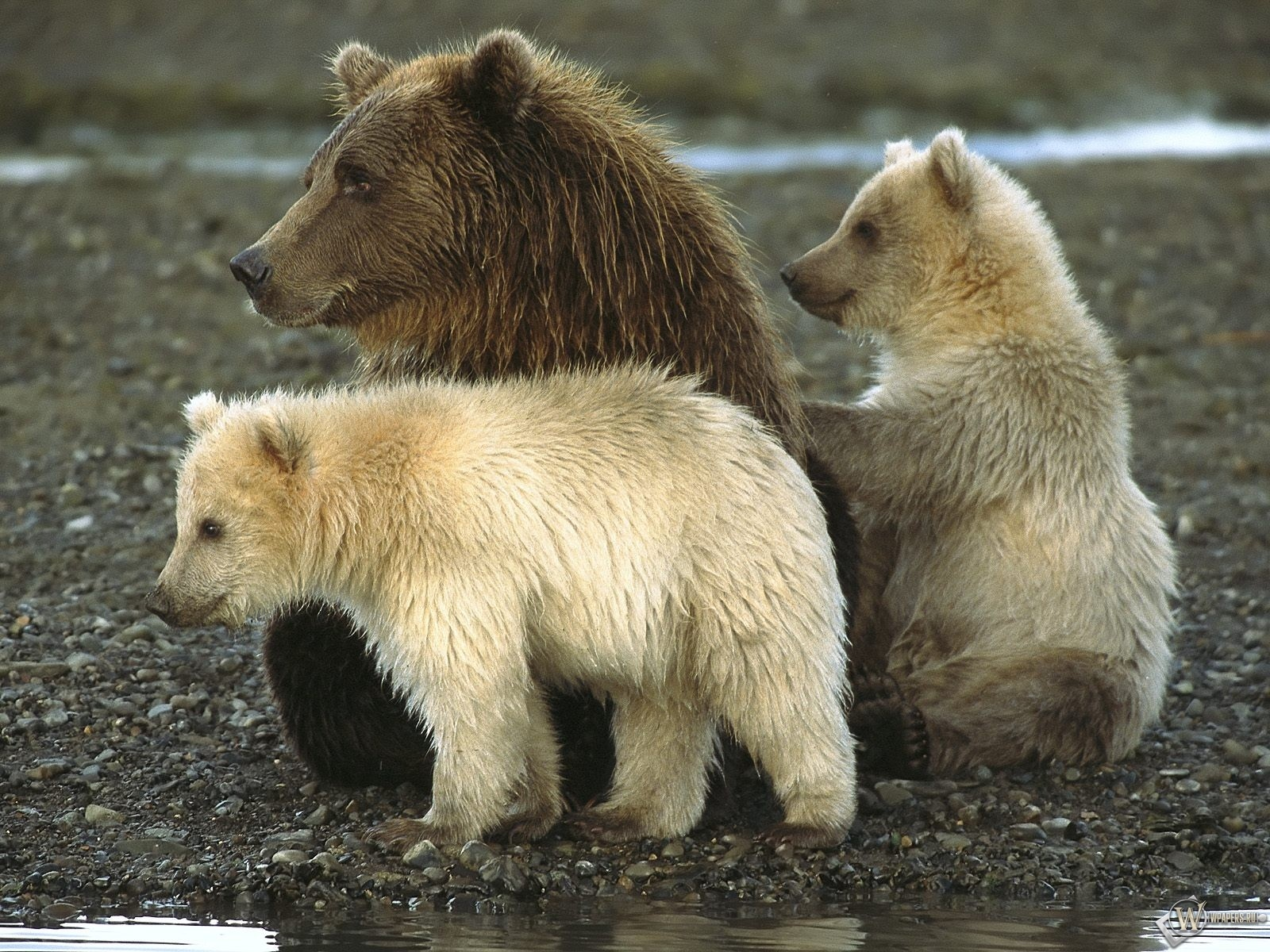 Медведиха и медвежата 1600x1200
