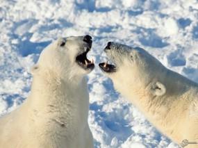 Обои Белые медведи злые: , Медведи