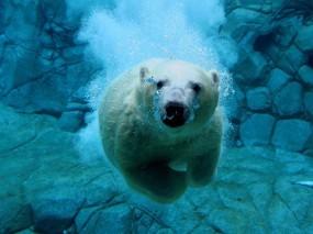 Обои Белый медведь под водой: Под водой, Белый медведь, Медведи