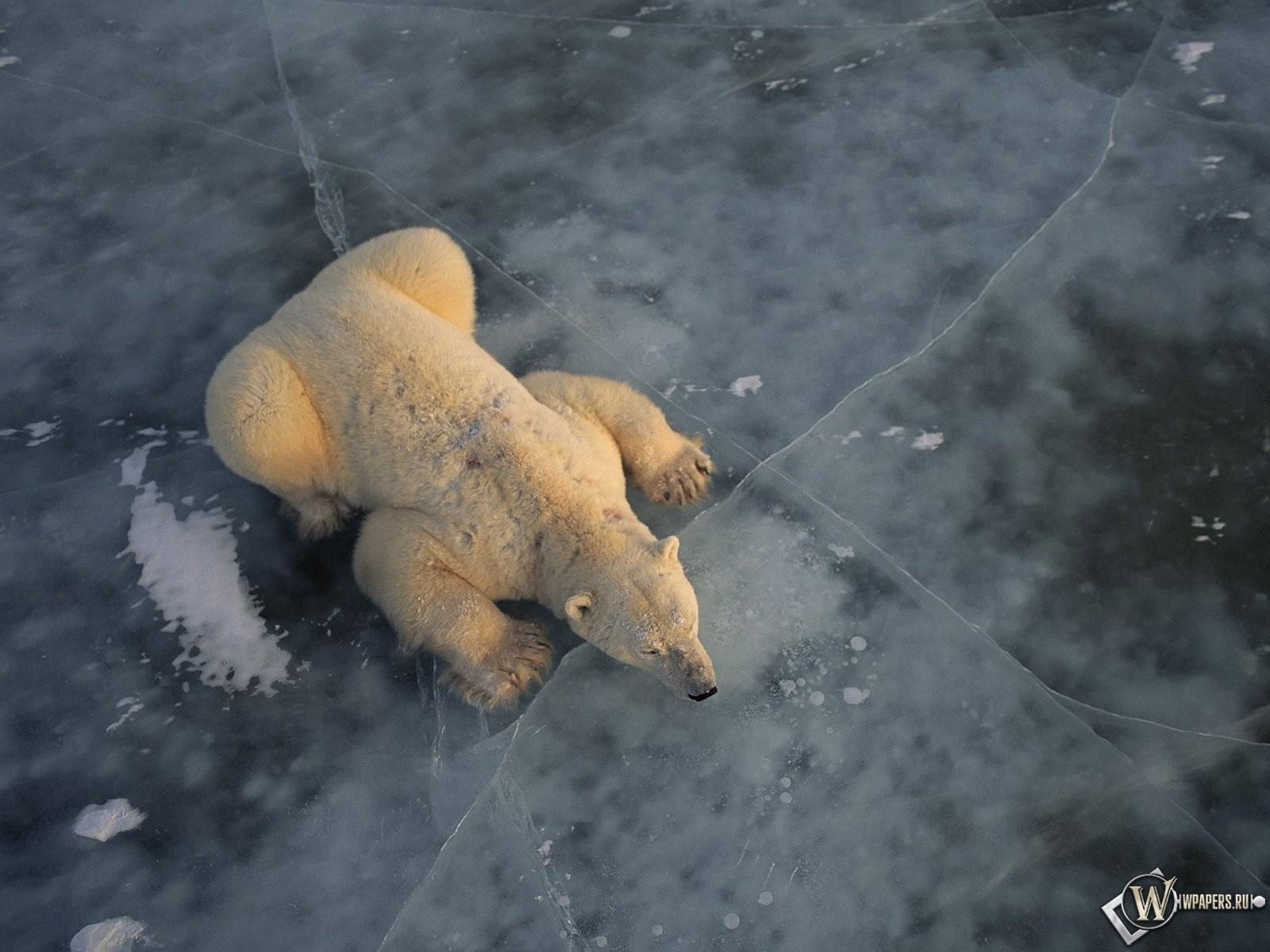 Белый медведь на льду 1600x1200