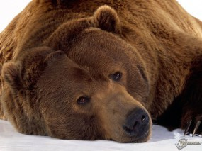 Обои Уставший медведь: , Медведи