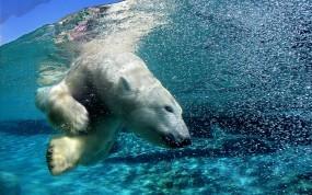 Обои Белый медведь под водой: Медведь, Арктика, Под водой, Белый медведь, Медведи