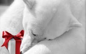 Обои Медведь с подарком: Белый медведь, Праздник, Подарок, Бантик, Медведи
