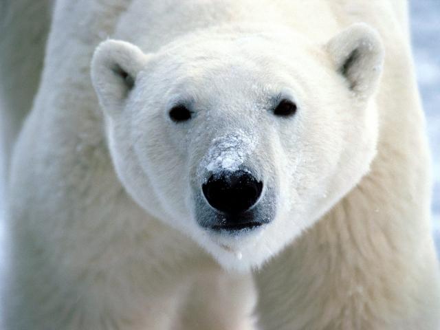 Морда белого медведя