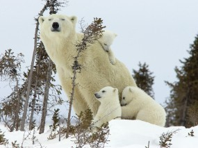 Обои Белая медведица с медвежатами: Белые медведи, Медведица, Медвежата, Медведи