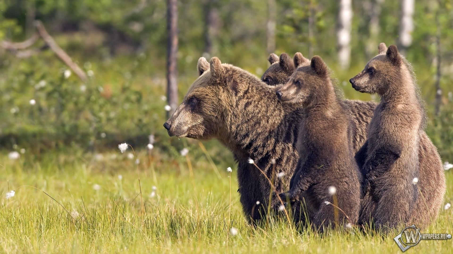 Медведи 1920x1080