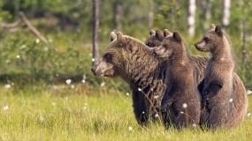 Обои Медведи: Медведица, Медвежата, Стойка, Медведи