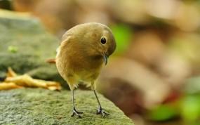 Обои птичка-невеличка: Птичка, Птица, Камень, Птицы