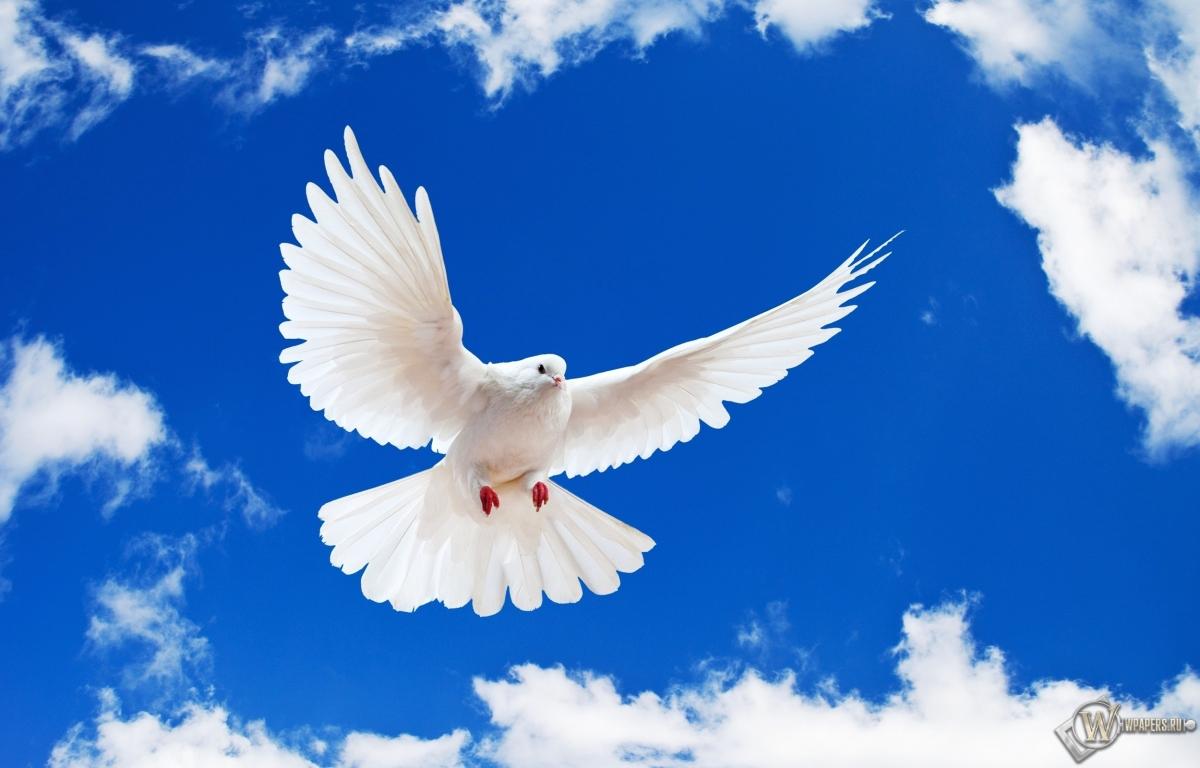 Летящий белый голубь 1200x768