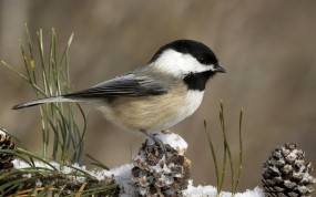 Обои Black Capped Chickadee: Зима, Снег, Птица, Шишки, синичка, Птицы