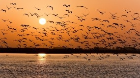 Обои Стая птиц: Закат, Озеро, Стая, Птицы, Птицы