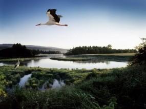 Обои Летящий аист: Озеро, Пруд, Птица, Аист, Птицы