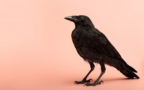 Обои Ворон: Птица, Ворон, Птицы