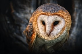 Обои Сипуха: Глаза, Птица, Клюв, Сова, Птицы
