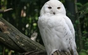 Обои Снежная сова: Лес, Дерево, Птица, Сова, Птицы