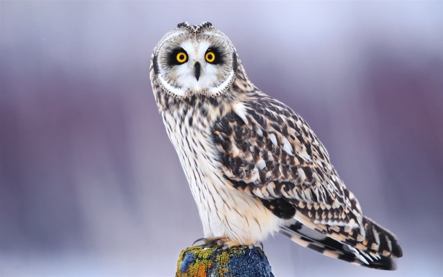 Удивлённая сова