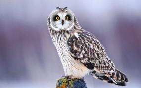 Обои Удивлённая сова: Зима, Птица, Сова, Птицы