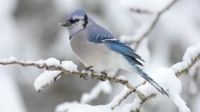 Обои Голубая сойка: Зима, Птица, Птицы