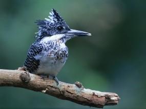 Обои Синяя птичка: Птица, Клюв, Птицы