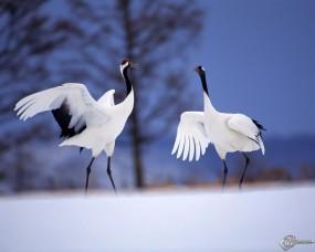 Обои Две цапли: , Птицы