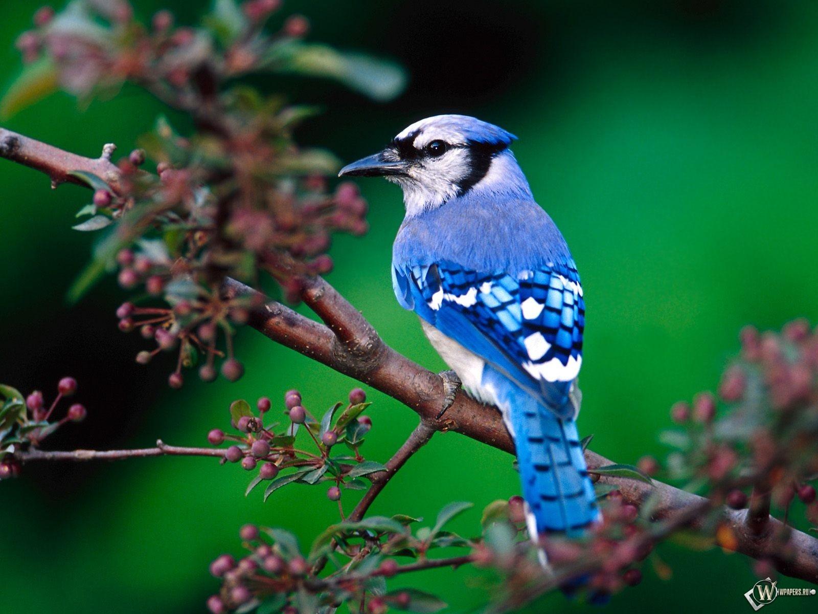Сайка птица
