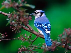 Обои Голубая сойка: Птица, Птицы