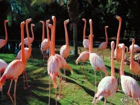 Обои Розовые фламинго: Фламинго, Птицы
