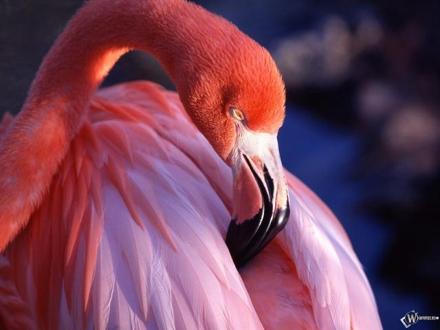 Обои розовый фламинго