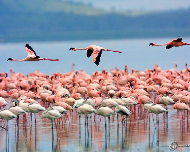 Стая фламинго в Кении