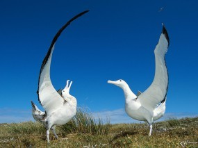 Обои Странствующие альбатросы: Птицы, Альбатросы, Птицы