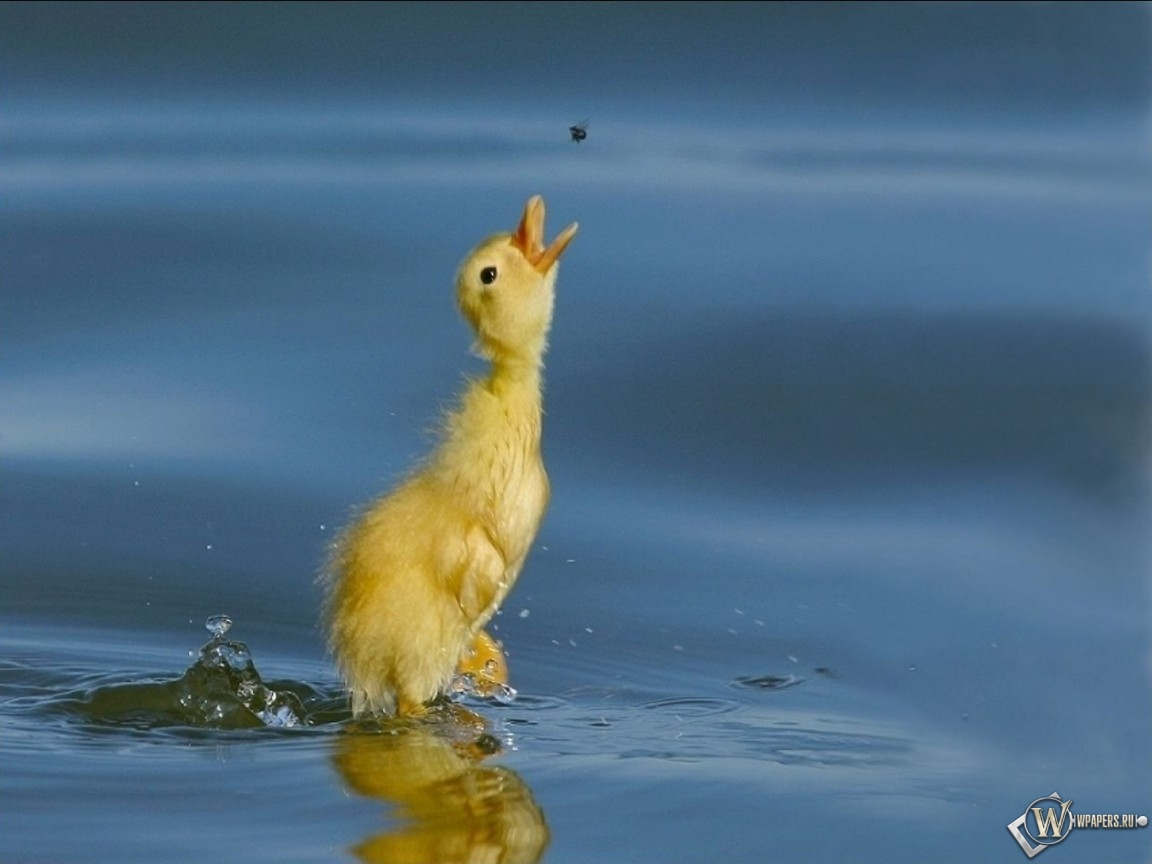 Утенок - птичка - птенец 1152x864