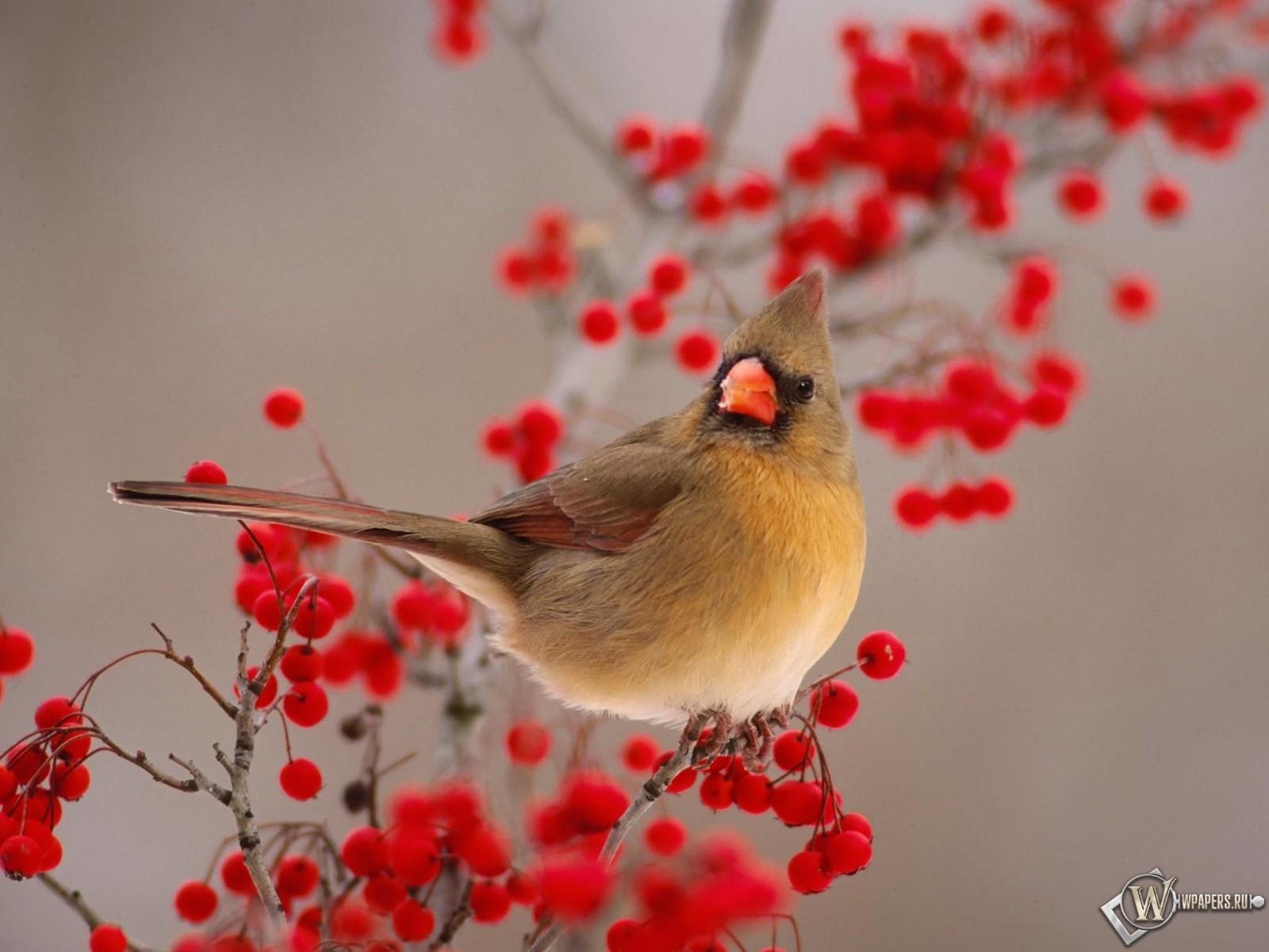 Птичка на рябине 1600x1200