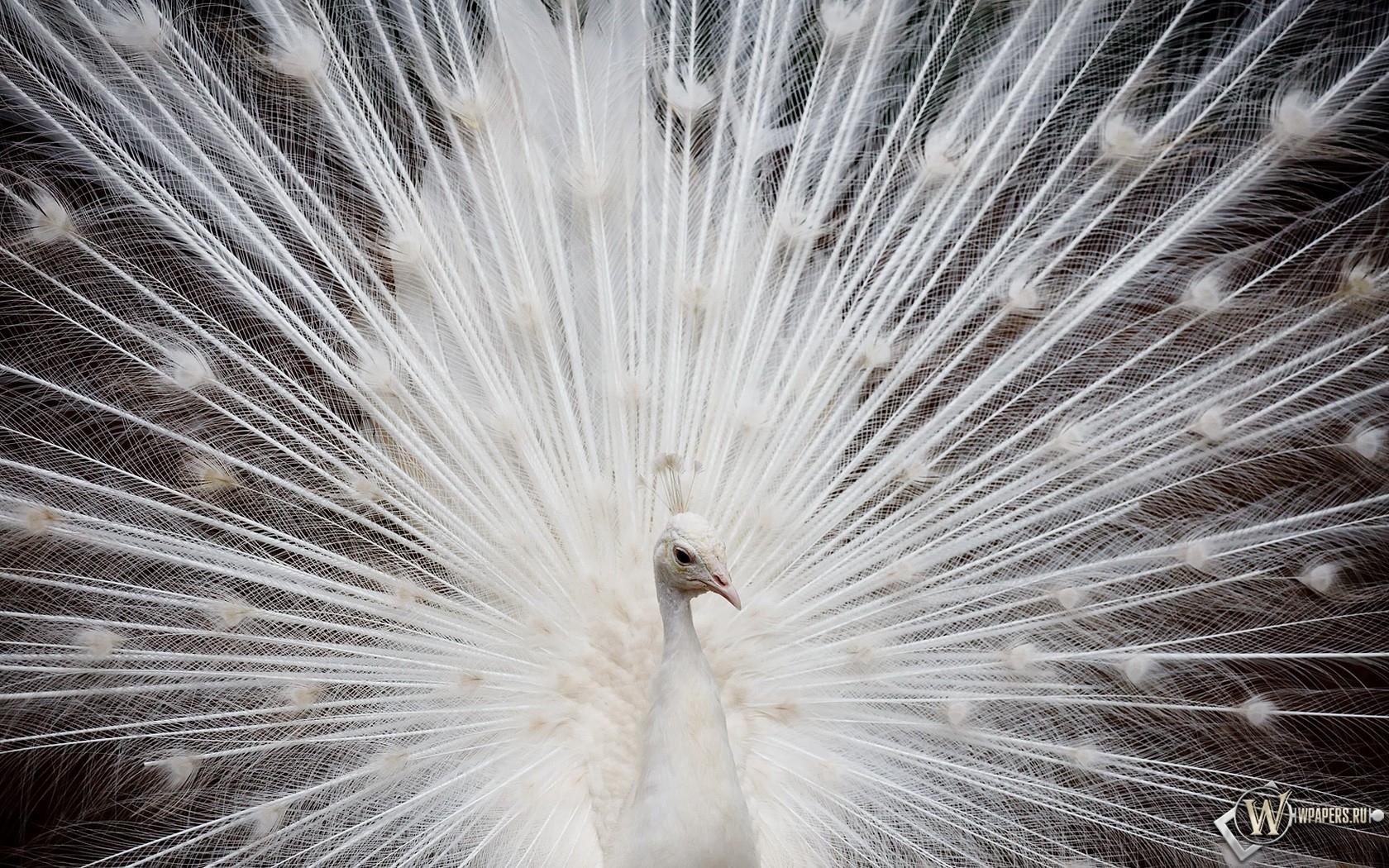 Белый павлин 1680x1050