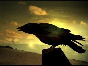 Обои Ворон на поле: Поле, Ворон, Мистика, Птицы