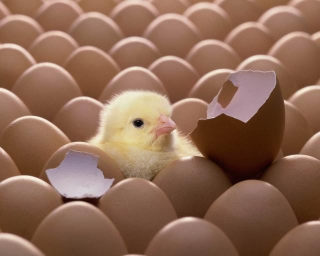 Цыплёнок из яйца