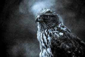Обои Сокол: Птица, Серый, Сокол, Птицы