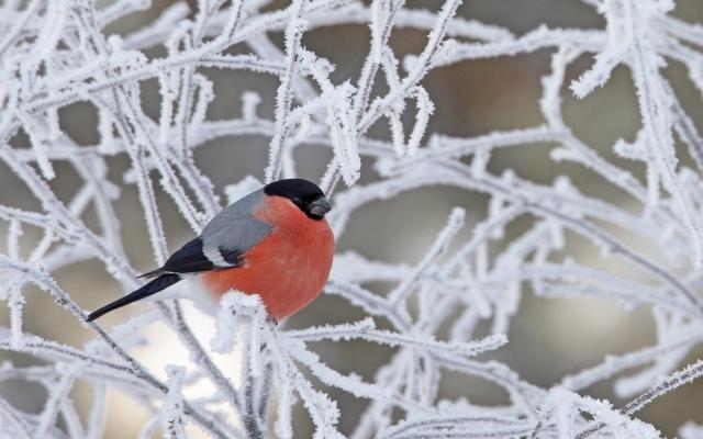 Снегирь на ветках