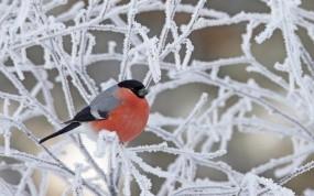 Обои Снегирь на ветках: Зима, Снег, Иней, Птица, Ветки, Снегирь, Птицы