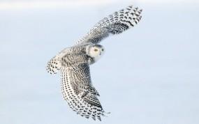 Обои Снежная сова в полете: Полёт, Крылья, Сова, Птицы