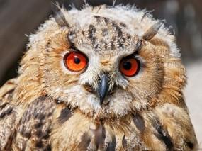 Обои Напуганная сова: Глаза, Перья, Сова, Птицы